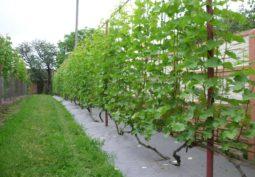 Шпалера для винограда: особенности выбора